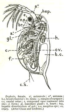 external heart diagram rcd spur wiring ミジンコ目 - wikipedia