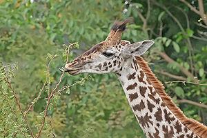 A juvenile giraffe (giraffa camelopardalis tip...