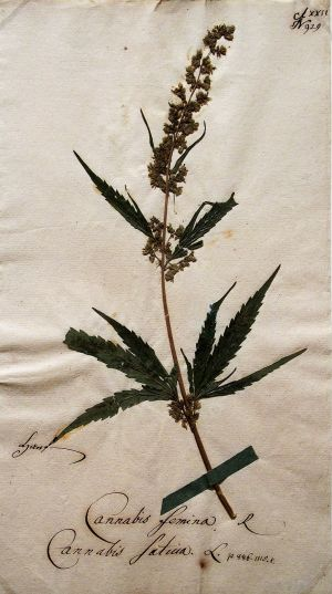 Hanf Cannabis femina@Goethe's botanical objects