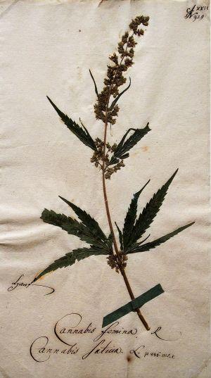 Hanf Cannabis femina@Goethe's botanical objects
