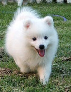 Japanese spitz also wikipedia rh enpedia
