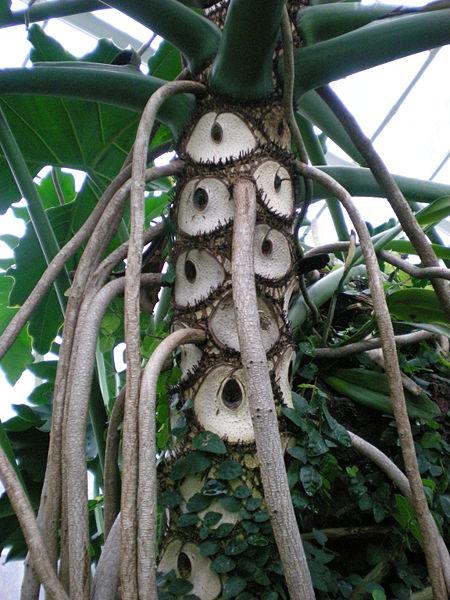File:Philodendron bipinnatifidum.jpg