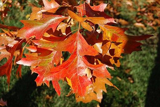 https://i0.wp.com/upload.wikimedia.org/wikipedia/commons/thumb/d/d2/Pin_Oak_Leaves.jpg/512px-Pin_Oak_Leaves.jpg