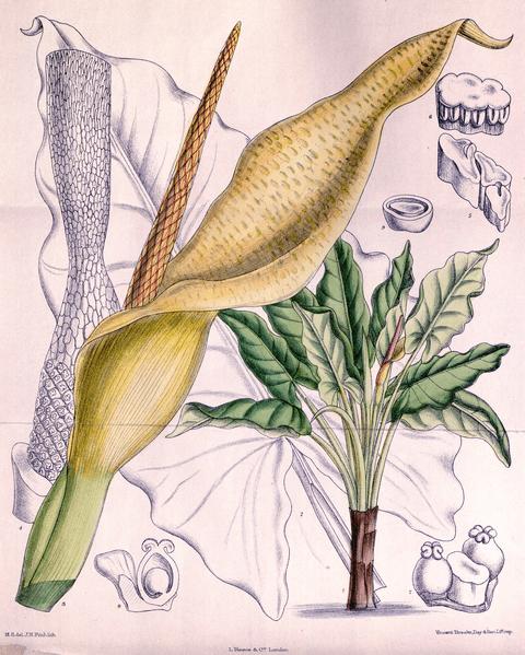 Typhonodorum lindleyanum ไม้ประดับสวน กล้วนน้ำ บราซิล