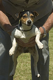 Parson Russell Terrier Wikipedia