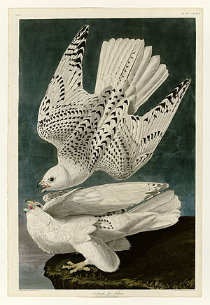Plate 366 of Birds of America by John James Au...