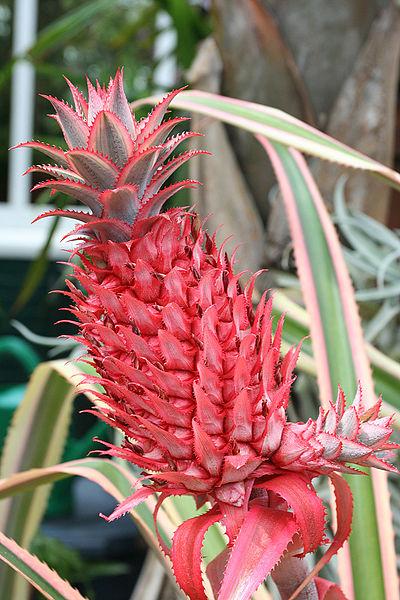 ფაილი:Ananas bracteatus var tricolor.jpg