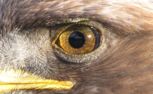 Eagle Eye Wikipedia