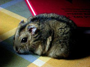 Una hembra de hamster ruso