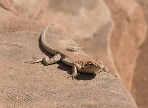 Lizard on a rock on Park Avenue in Arches NP2