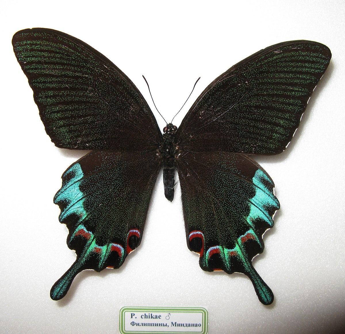 Exotic Animal Wallpaper Papilio Achillides Chikae Wikispecies