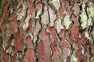 bark of the maritime pine (Pinus pinaster) - H...