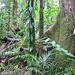 Amazon Rainforest Layers Diagram Ford Mondeo Mk2 Radio Wiring Tropical Wikipedia Daintree In Queensland Is Actually A Seasonal Forest