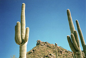 Saguaro cactus on hillside at Saguaro National...
