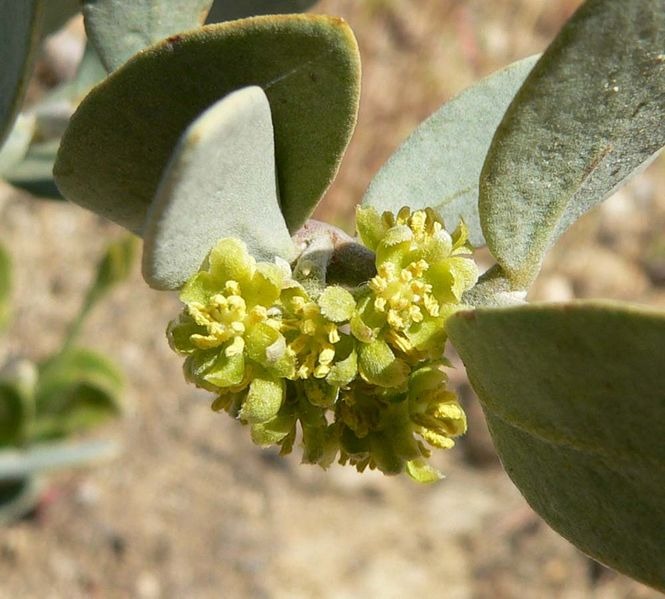 Close-up of male jojoba flowers, by Stan Shebs, Courtesy Wikipedia.