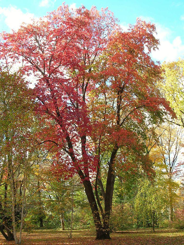 FileSourwood Tree Elizabeth Park West Hartford CT  October 31 2010jpg  Wikimedia Commons