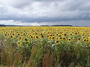 English: Sunflower Sundance Enjoying a brief r...