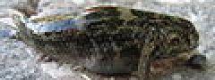 Bathygobius soporator aka Frillfin Goby.jpg