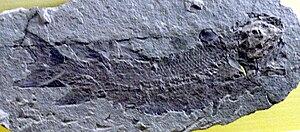 Eusthenopteron foordi fossil at the Museum für Naturkunde, Berlin