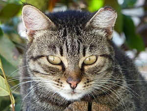 English: Portrait of a female feral cat (Felis...