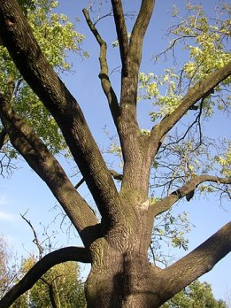 Protected example of Common Ash (Fraxinus exce...