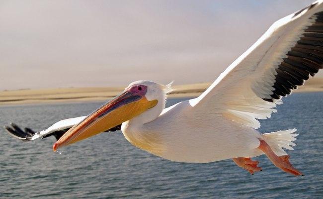 Pelican Wikipedia