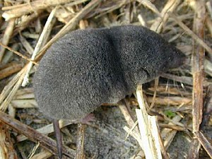 American short-tailed shrew