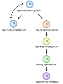 meiosis vs mitosis diagram 1991 honda civic ignition wiring spermatogonial stem cell - wikipedia