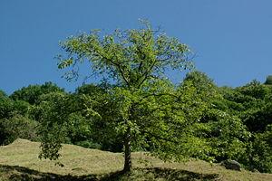 A tree in :en:Ticino