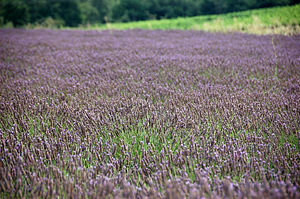 Lavender is to the body what respite is to the soul...