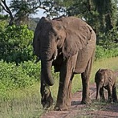 African Elephant Food Chain Diagram Power Meter Wiring Bush Wikipedia