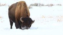 Ficheiro:Bison bison grazing in snow (Yellowstone).ogv