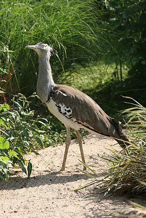 Oiseau Qui Vole Le Plus Haut : oiseau, Outarde, Wikipédia