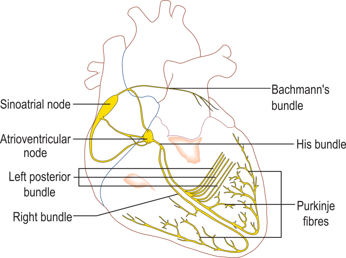 heart diagram outside external wastegate cardiac action potential wikipedia