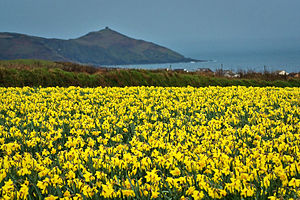 Daffodil field in South East Cornwall