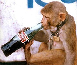 Jullunder: monkey drinking coca-cola