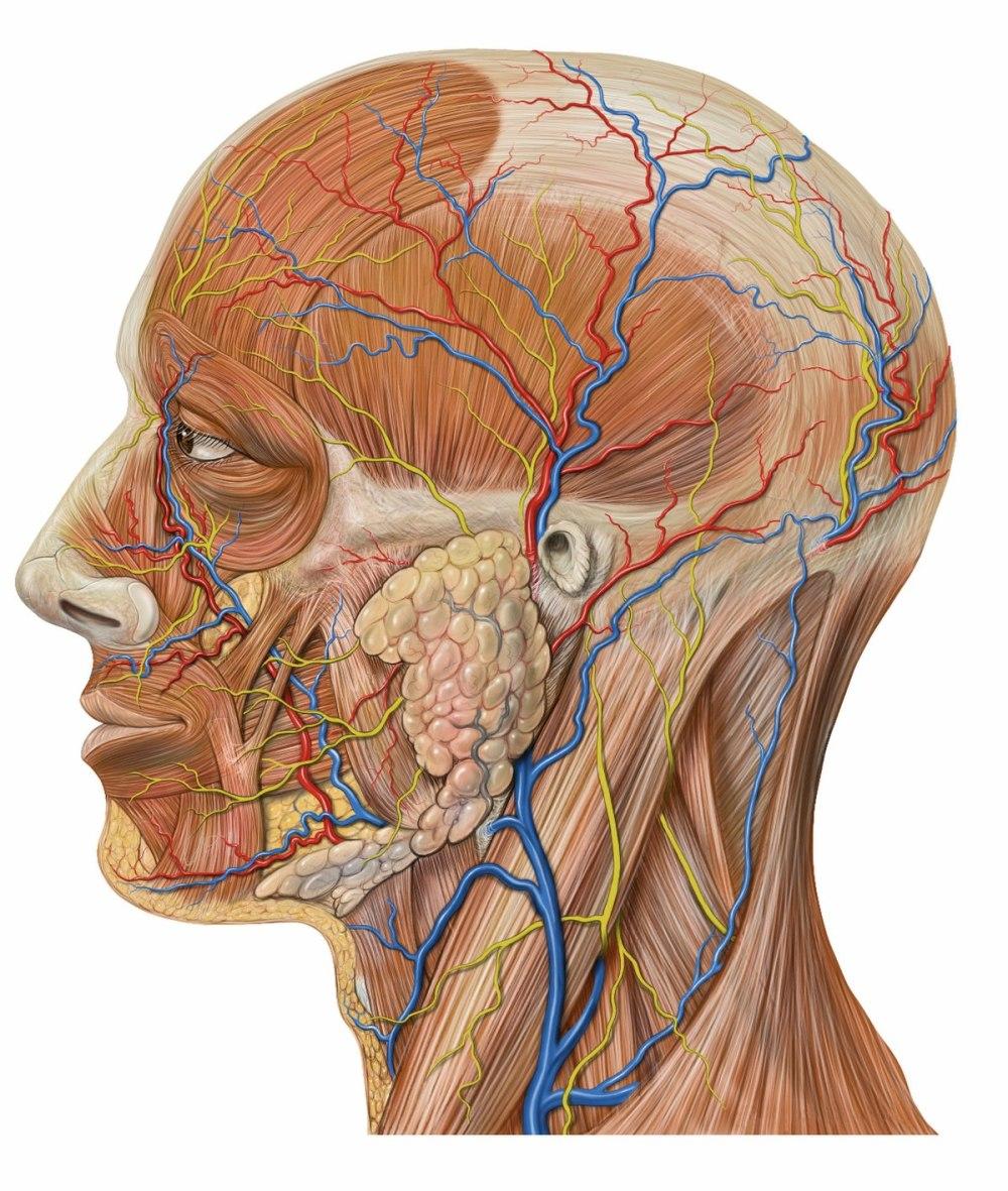 medium resolution of diagram of side of face