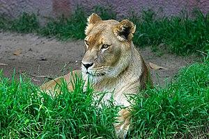 Lion (Panthera leo) at the San Diego zoo