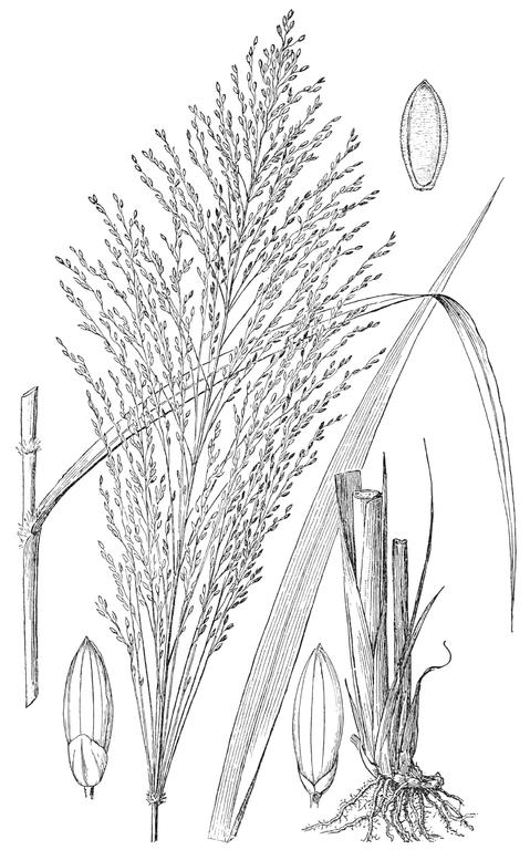 File:Megathyrsus maximus (as Panicum maximum) HC-1935.png