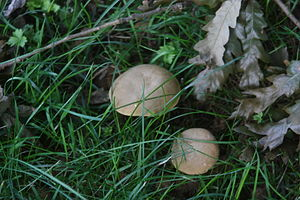 English: Mushrooms
