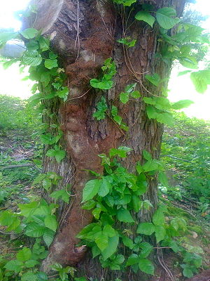 This is an old poison ivy vine from my backyard