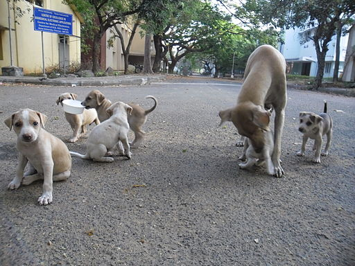 https://i0.wp.com/upload.wikimedia.org/wikipedia/commons/thumb/d/d5/Puppies_in_AU_3.JPG/512px-Puppies_in_AU_3.JPG