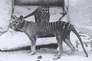 Thylacine (Thylacinus cynocephalus) an extinct...