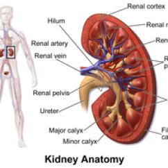 Kidney Location In Humans Diagram 1998 Mitsubishi Montero Sport Wiring Wikipedia
