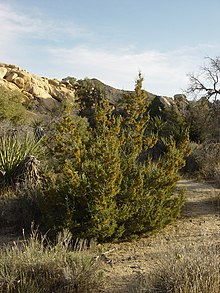 Juniperus californica  Wikipedia