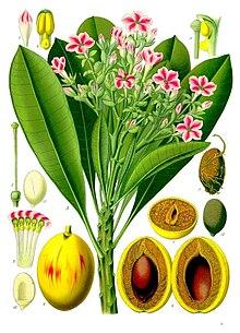 Cerbera manghas  Wikipedia