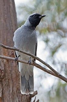 Blackfaced cuckooshrike  Wikipedia