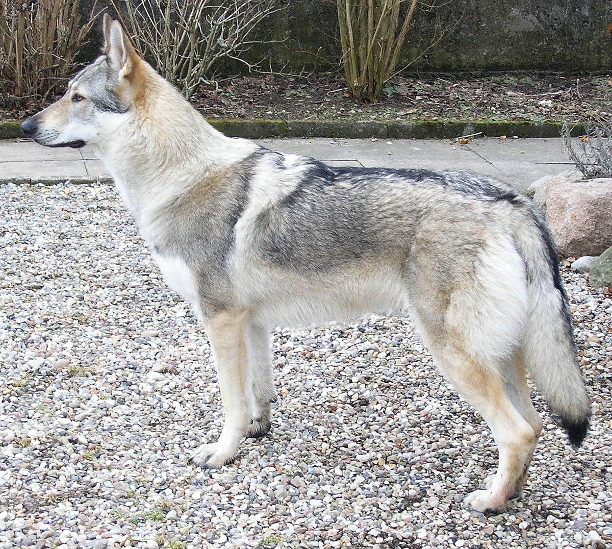 German Wolf Shephard Mix
