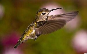 English: Fem Anna's Hummingbird