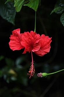 Hibiscus Wikipedia